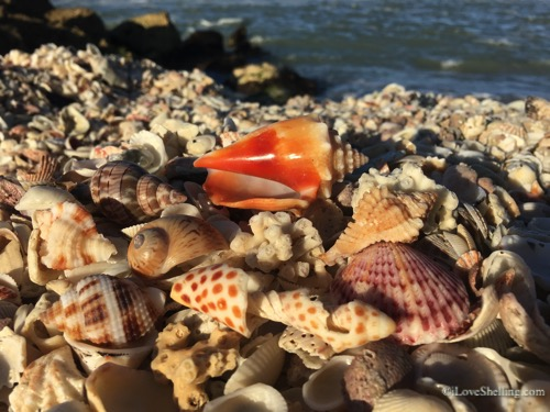 shell pile with junonia