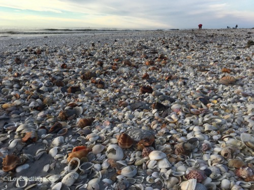 shells on Sanibel beach for miles