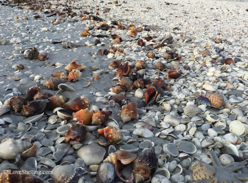 Sanibel Island Shells: Shells On The Beach Of Sanibel Island