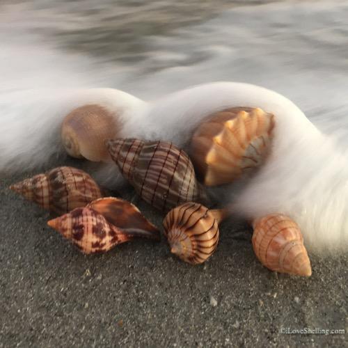 shells with blanket of sea foam