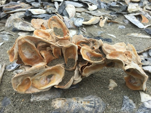 eastern oyster sculpture