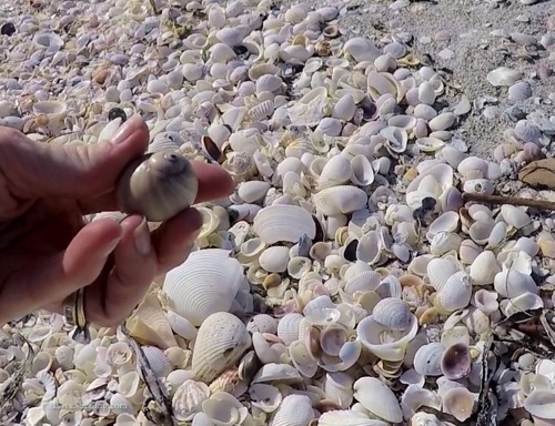 collecting shells on Sanibel Island