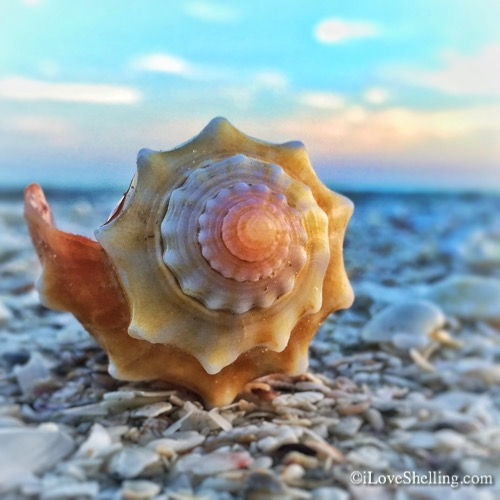 Cartwheels For Conch Shells