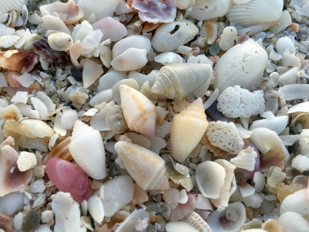 Dusky shells Sanibel island Florida