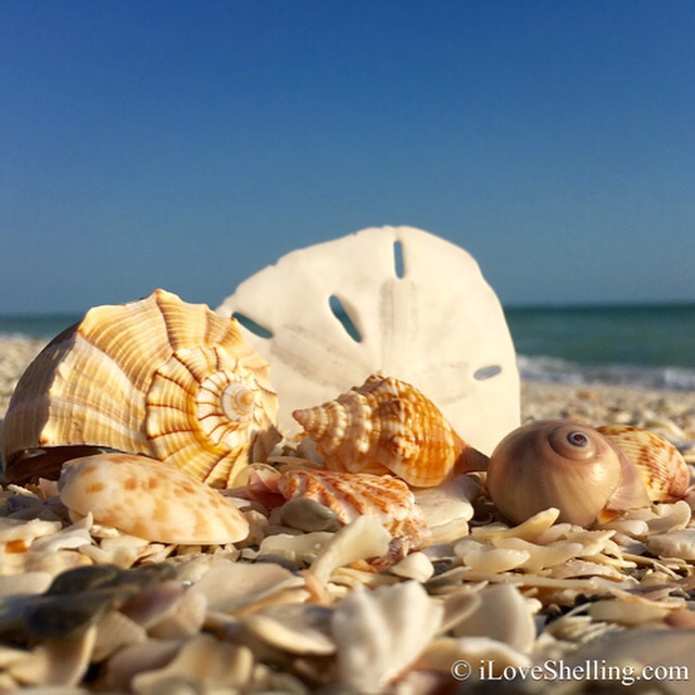 Sanibel Seashells on Bowmans Beach