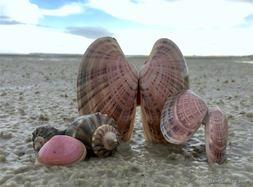 Bunche beach Fort Myers beach combing seashells whelk tellin-1