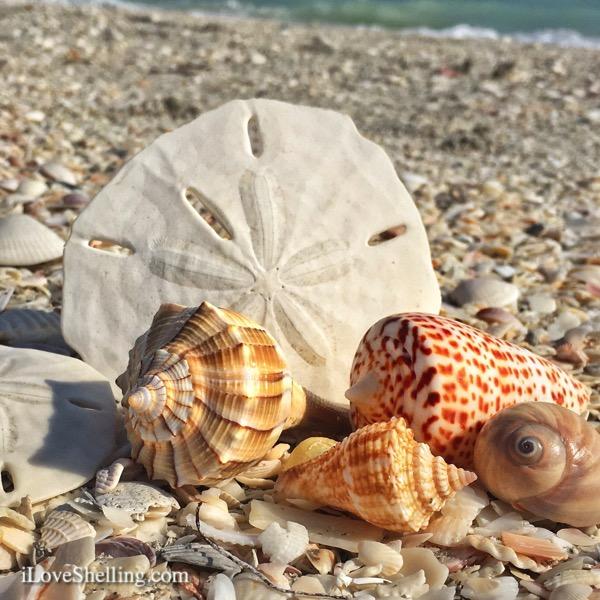 Sanibel Shelling and Shell Love Bug