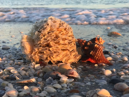 horse conch with egg case on the beach-1