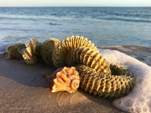 Seashells, Sea Stars to Sleepy Crabs At Gulfside this Week