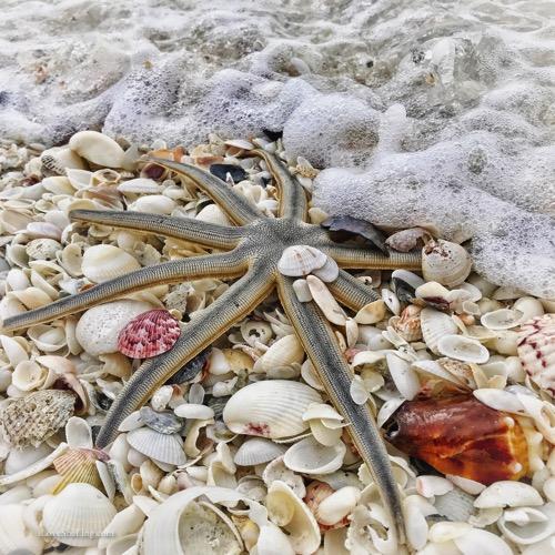 millipede seastar sanibel nine leg starfish