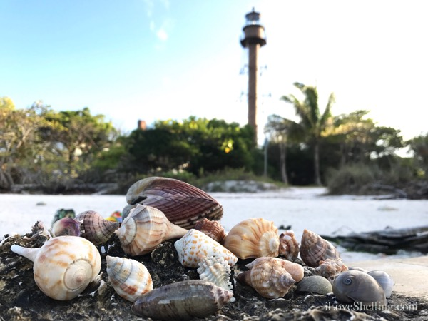 She Saw Seashells at Sunset Down By the Sanibel Lighthouse