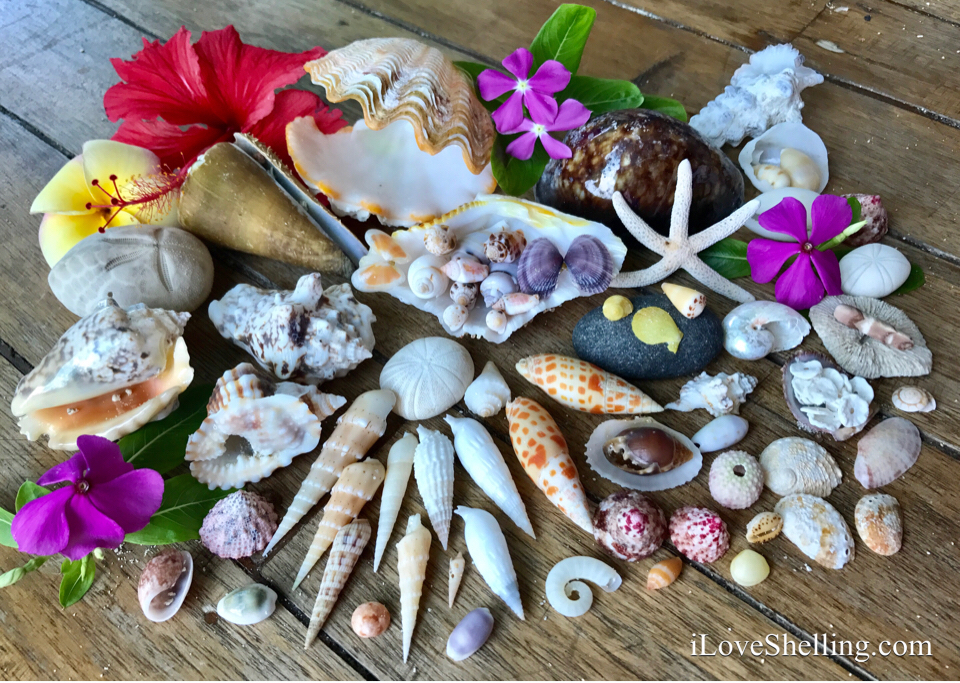 Indo Pacific seashells
