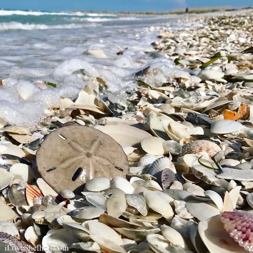 sand dollar on sanibel captiva cayo costa beach
