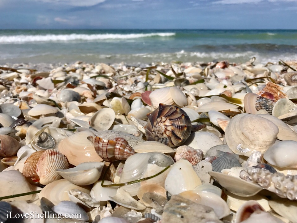 whelk and tulip sea shells on beach sanibel captiva cayo costa florida