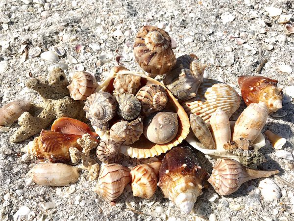 beachcomber seashells in the sand